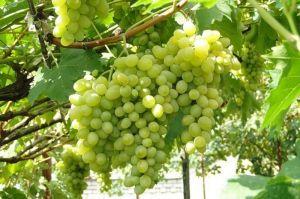 Виноград Августин, морозостойкий