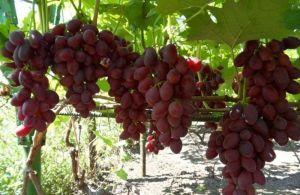Виноград Дунав, транспортабельный