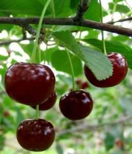 Вишня Мелитопольская десертная
