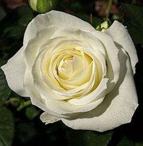 Роза Avalanche (Аваланж)