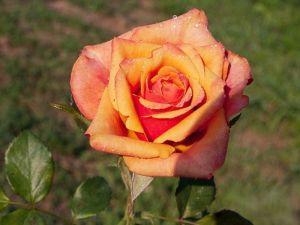 Роза Cherry Brandy (Чери Бренди)