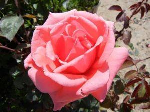 Роза Montezuma (Монтезума)