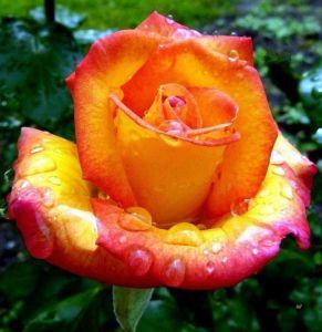 Роза Red Gold (Ред Голд)