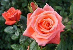 Роза Wow (Вау)