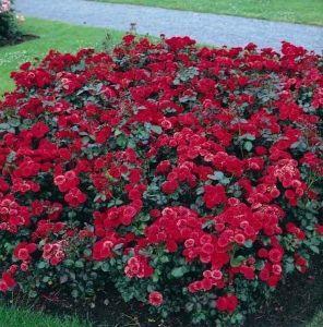 Роза Сordula (Кордула)