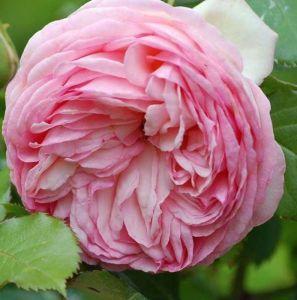 Роза Pierre de Ronsard (Пьер де Ронсард)