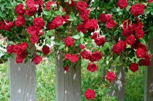 Роза Red Cascade (Ред Каскад)