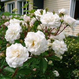 Роза Snow Ballet (Сноу Балет)