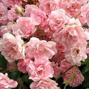 Роза зе фейри фото и описание