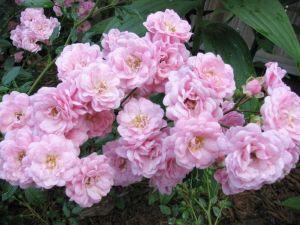 роза зе фейри фото