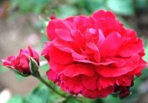 Роза The Prince's trust (Зе Принцес траст)