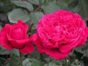 Роза Alain Souchon (Альен Сушон)