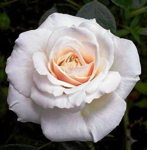 Роза Penny Lane (Пенни Лейн)