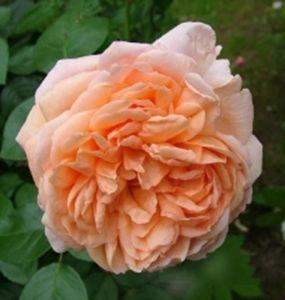 Роза Jade (Джейд)