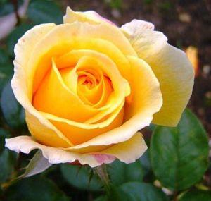 Роза Candlelight (Кенделлайт)