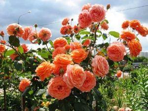 Роза Belvedere (Бельведере)