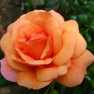 Роза Декоплант Aprikola (Априкола), 60-80 см