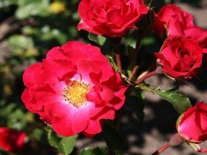 Роза Rotilia (Ротилия)