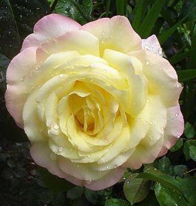 Роза Madame Meilland (Мадам Мейланд)