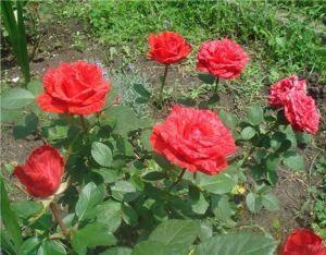 Роза Red Intuition (Ред Интуишн)