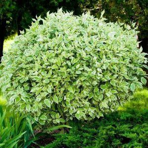 Дерен белый Westonbirt