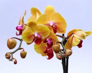Орхидейница Пента прозрачная, Ø18см