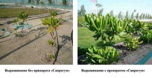 Сапрогум 20 мл