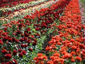 Удобрение для роз Чистый лист