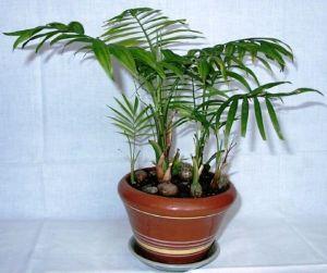Удобрение Успех для пальм
