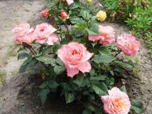 Роза Augusta Luise (Августа Луиза)