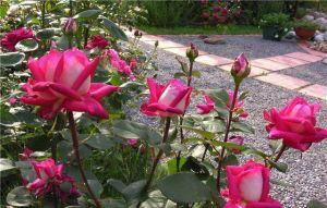 Роза Acapella (Акапелла)