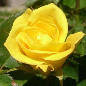 Роза в контейнере Arthur Bell (Артур Белл), штамбовая 80-90 см