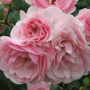 Роза в контейнере Bonica (Боника), штамбовая 70-80 см
