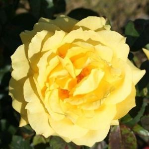 Роза Декоплант Chinatown (Чайнатаун) 150-180 см
