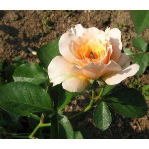 Роза Excalibur (Экскалибур)