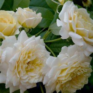 Роза Декоплант Excalibur (Экскалибур), 60-70 см