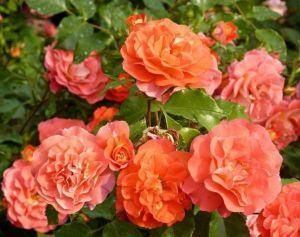 Роза Декоплант Gebruder Grimm (Гебрюдер Гримм), 60-70 см