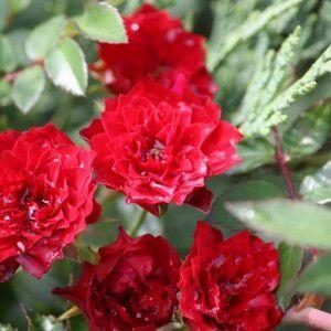 Роза в контейнере Gravin d'Alcantara (Графиня Алькантара), штамбовая 80-90 см