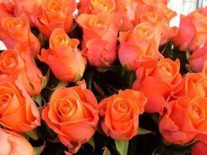 Роза Holstein Perle (Гольдштейн Перле)
