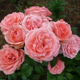 Роза в контейнере Kimono (Кимоно), штамбовая 70-80 см