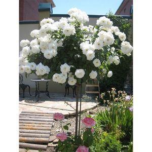 Роза Декоплант Kristall (Кристалл), штамбовая 60+см