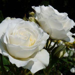 Роза в контейнере Kristall (Кристалл), штамбовая 70-80 см