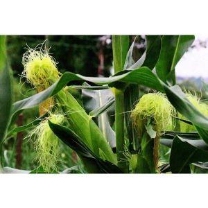 Кукуруза сахарная Леженд F1