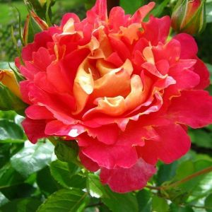 Роза Lustige (Люстиге)