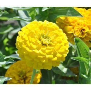 Цинния изящная желтая