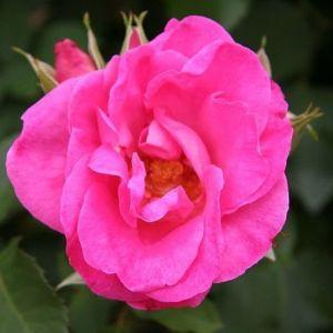 Роза Melrose (Мелроуз), штамбовая 90+см