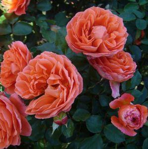 Роза Orange Meilove (Оранж Мейлав), штамбовая 90+см