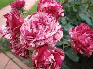 Роза Papageno (Папагено)