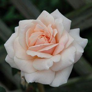 Роза в контейнере Penny Lane (Пенни Лейн), 250-350 см