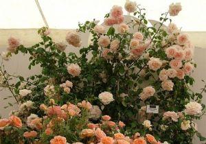 Роза Декоплант Penny Lane (Пенни Лейн), 250-350 см
